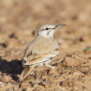 Greater Hoopoe-lark (Alaemon alaudipes)