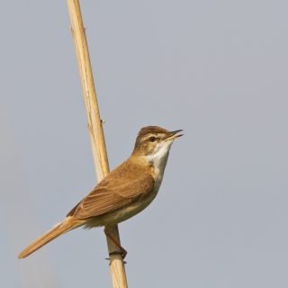 Paddyfield Warbler (Acrocephalus agricola)