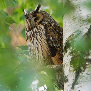 Northern Long-eared Owl (Asio otus)