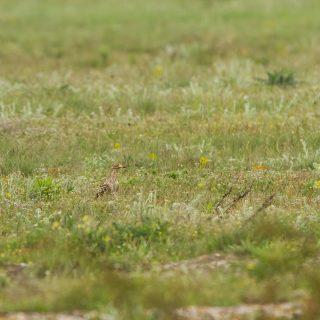 Eurasian Thick-knee (Burhinus oedicnemus)